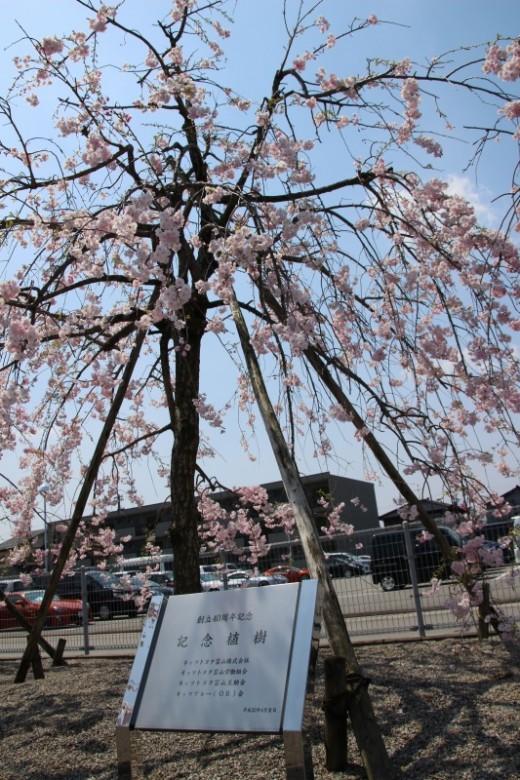しだれ桜が満開です✿