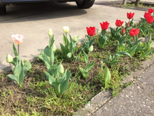 春~チューリップ~